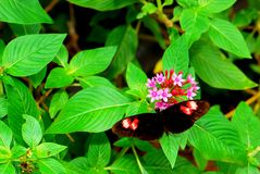 Butterfly and pentas lanceolata flowers Royalty Free Stock Photos