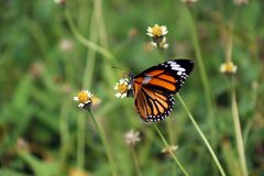 Butterfly perch and eating nectar on the grass flower. royalty free stock photo