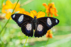 Butterfly perched atop the flower Royalty Free Stock Images