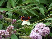 Butterfly Perched on Butterfly bush bush Stock Photo