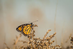 Butterfly perched on dried flowers Royalty Free Stock Images