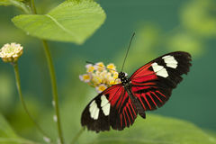Butterfly. A butterfly perched on a flower Royalty Free Stock Images