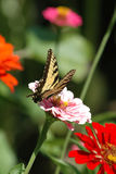 Butterfly perched on flower. Closeup of a Monarch butterfly perched on a colorful flower Stock Photography