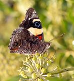Butterfly perched on flower. A beautiful and colourful butterfly perched on flowers Royalty Free Stock Photo