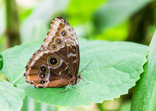 Beauty of a blue Morpho Butterfly. Morpho Peleides. stock photos