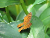 A butterfly perched on the leaf. Stock Image