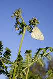 Butterfly perched over a common bracken Stock Photography