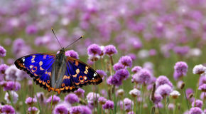 Butterfly perched on purple flower panoramic view Royalty Free Stock Photos