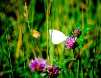 Butterfly Perched on a Stem. This field had a number of butterflies on this clear summer day Royalty Free Stock Images