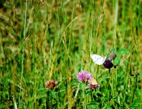Butterfly Perched on a Stem. This field had a number of butterflies on this clear summer day Royalty Free Stock Image