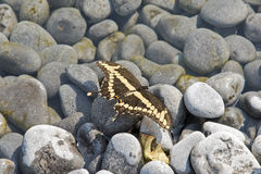 Butterfly perched on stone pebbles Stock Images