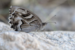 Butterfly perched on white stone Royalty Free Stock Images