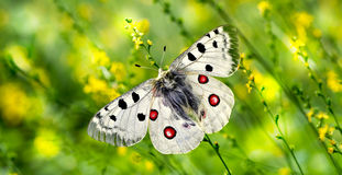 Butterfly perched on yellow flowers panoramic view Royalty Free Stock Photos