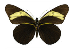 Butterfly Pereute charops (underside) Royalty Free Stock Photography