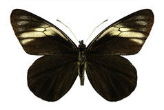 Butterfly Pereute charops Stock Images