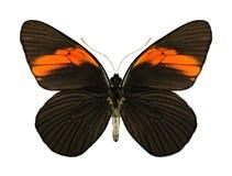 Butterfly Pereute leucodrosine (underside) Stock Photography