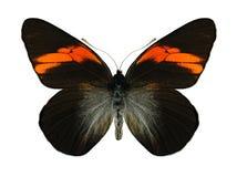Butterfly Pereute leucodrosine Stock Photography