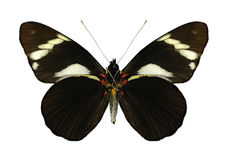 Butterfly Pereute telthusa Royalty Free Stock Images