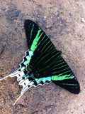 Butterfly in Peru's Amazonia Royalty Free Stock Photography