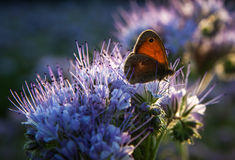 Butterfly on Phacelia Tanacetifolia Flower at sunset Royalty Free Stock Photos
