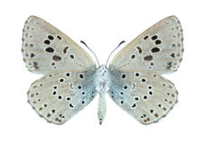 Butterfly Phengaris arion (underside) Royalty Free Stock Photo