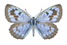Butterfly Phengaris arionides Royalty Free Stock Photography