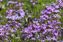 Butterfly and Pholx Royalty Free Stock Images
