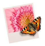 Butterfly on a photo. Butterfly sits on a photo thinking it to be real Stock Images