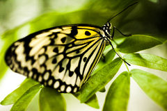 Butterfly. This is a photo of a butterfly on a tree leaf Stock Photos