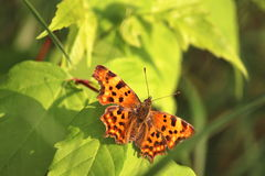 Butterfly. Photographed in the wild by the river west morava cacak serbia Stock Photo