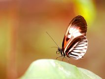 Butterfly, piano key  on green leaf in aviary Royalty Free Stock Image