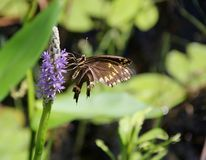 Butterfly on Pickerel Weed Stock Image