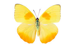 Butterfly Pieridae Royalty Free Stock Image