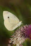 Butterfly Pieris Brassicae Stock Image
