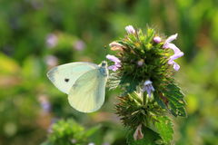 Butterfly Pieris brassicae, also called cabbage butterfly Stock Photos