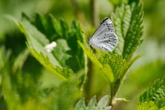Butterfly Pieris brassicae perching on leaf in springtime, seen in Poland stock image