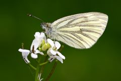 Butterfly (pieris napi). On flower, isolated on green background stock image