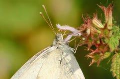 Butterfly Pieris napi Royalty Free Stock Photo