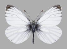 Butterfly Pieris napi male Royalty Free Stock Photography