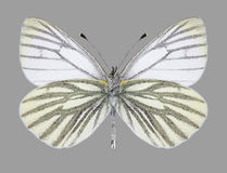 Butterfly Pieris napi male underside Stock Photos