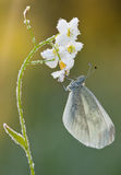 Butterfly Pieris rapae on Cuckoo-flower Stock Images