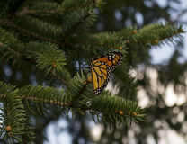 Butterfly on Pine Tree Royalty Free Stock Image