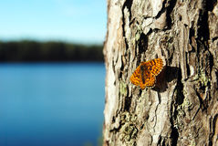 Butterfly on a pine tree Stock Images