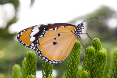 Butterfly on pine tree. royalty free stock photo