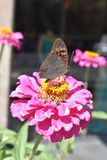 Butterfly on the pink beauty flower Stock Image