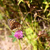 Butterfly on pink clover Stock Photo
