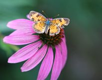 Butterfly on pink flower. Macro view of butterfly on pink flower Royalty Free Stock Images