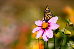 Butterfly on Pink Flower. A monarch butterfly on a pink cosmo in a colorful garden royalty free stock photo