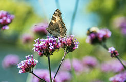 Butterfly. On a pink flower Stock Photography