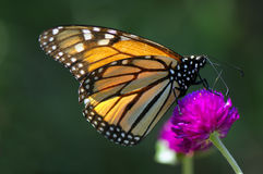 Butterfly on the pink flower. Close-up butterfly on the pink flower is collection nectar Stock Photos